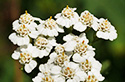 elderflower1