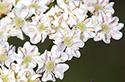 elderflower3